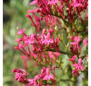 Centranthus-ruber-Globuli