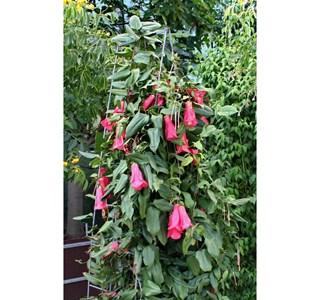 Lapageria-rosea-Globuli