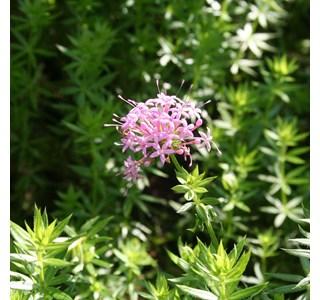 Phuopsis-stylosa-Globuli