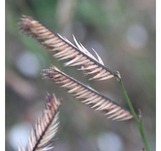 Bouteloua-gracilis-Globuli
