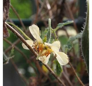 Caiophora-lateritia-Globuli