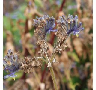 Tinantia-violacea-Globuli