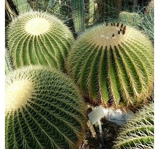 Echinocactus-grusonii-Globuli