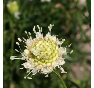 Cephalaria-uralensis-Globuli