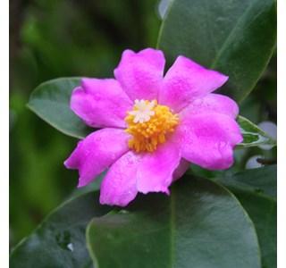 Pereskia-grandifolia-Globuli