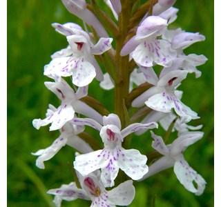 Dactylorhiza-maculata-Globuli