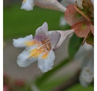 Dipelta-floribunda-Globuli