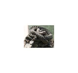 Vipera-ammodytes-gregorwallneri-Globuli