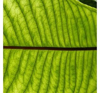 Hymenandra-wallichii-Globuli