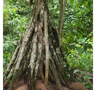 Socratea-exorrhiza-Globuli
