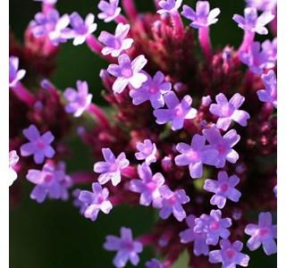 Verbena-bonariensis-Globuli