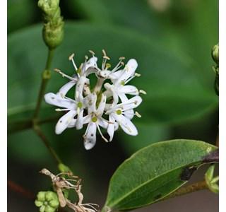 Heptacodium-miconioides-Globuli
