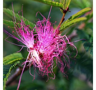 Calliandra-surinamensis-Globuli
