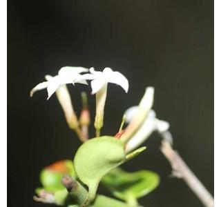 Carissa-bispinosa-Globuli