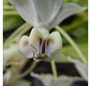 Gomphocarpus-physocarpus-Globuli