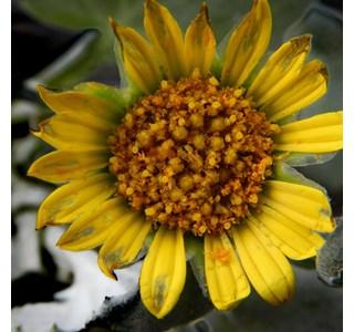 Arctotheca-populifolia-Globuli