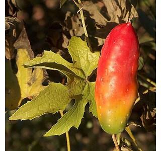 Coccinia-palmata-Globuli