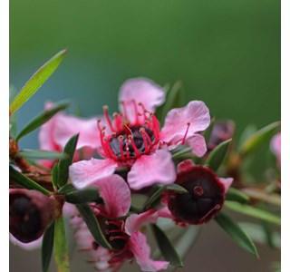 Leptospermum-scoparium-Globuli
