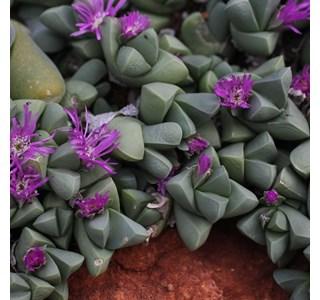 Gibbaeum-pubescens-Globuli
