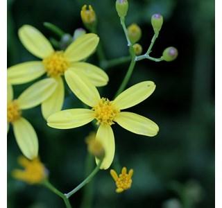 Vernonia-natalensis-Globuli