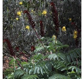 Melianthus-major-Globuli