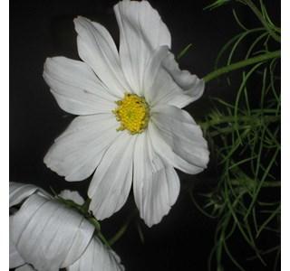Cosmos-bipinnatus-Globuli