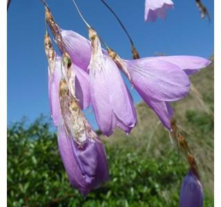 Dierama-latifolium-Globuli