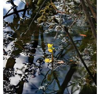 Utricularia-foliosa-Globuli