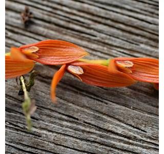 Pleurothallis-lanceana-Globuli