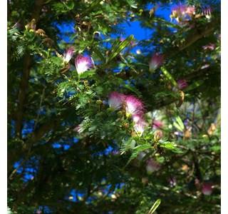 Bauhinia-variegata-Globuli