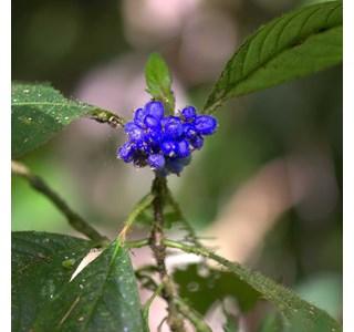 Psychotria-pilosa-Globuli