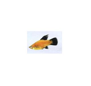 Xiphophorus-maculatus-Globuli