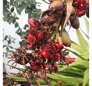 Doryanthes-palmeri-Globuli