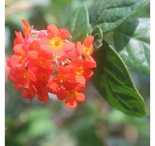 Rondelettia-odorata-Globuli
