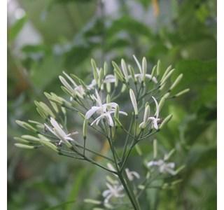 Tarenna-gracilis-Globuli