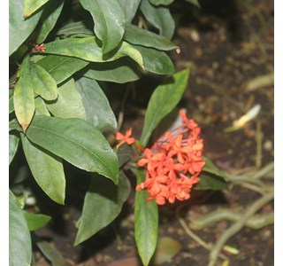 Ixora-chinensis-Globuli