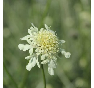 Cephalaria-gigantea-Globuli