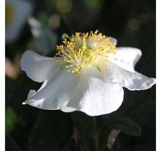 Carpenteria-californica-Globuli