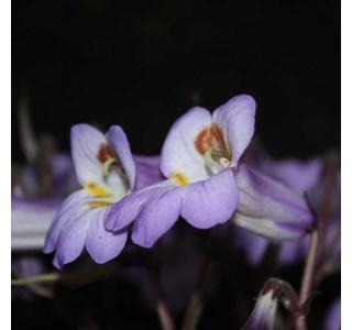 Chirita-sclerophylla-Globuli