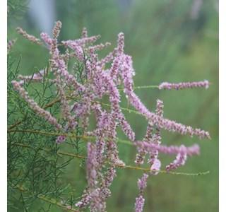 Tamarix-ramosissima-Globuli