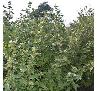 Kitaibelia-vitifolia-Globuli