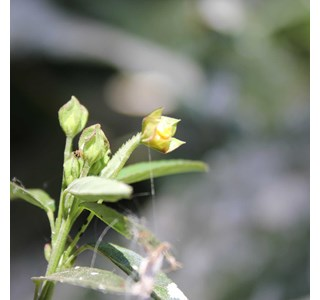 Sida-rhombifolia-Globuli