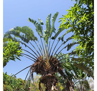 Ravenala-madagascariensis-Globuli