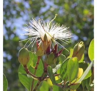 Sonneratia-alba-Globuli