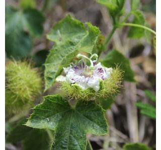 Passiflora-foetida-Globuli