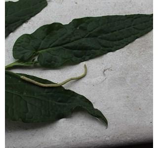 Peperomia-claytonioides-Globuli