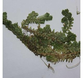Selaginella-kraussiana-Globuli