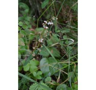 Pyrola-rotundifolia-Globuli