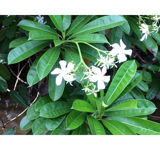 Cerbera-manghas-Globuli