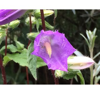 Campanula-trachelium-Globuli